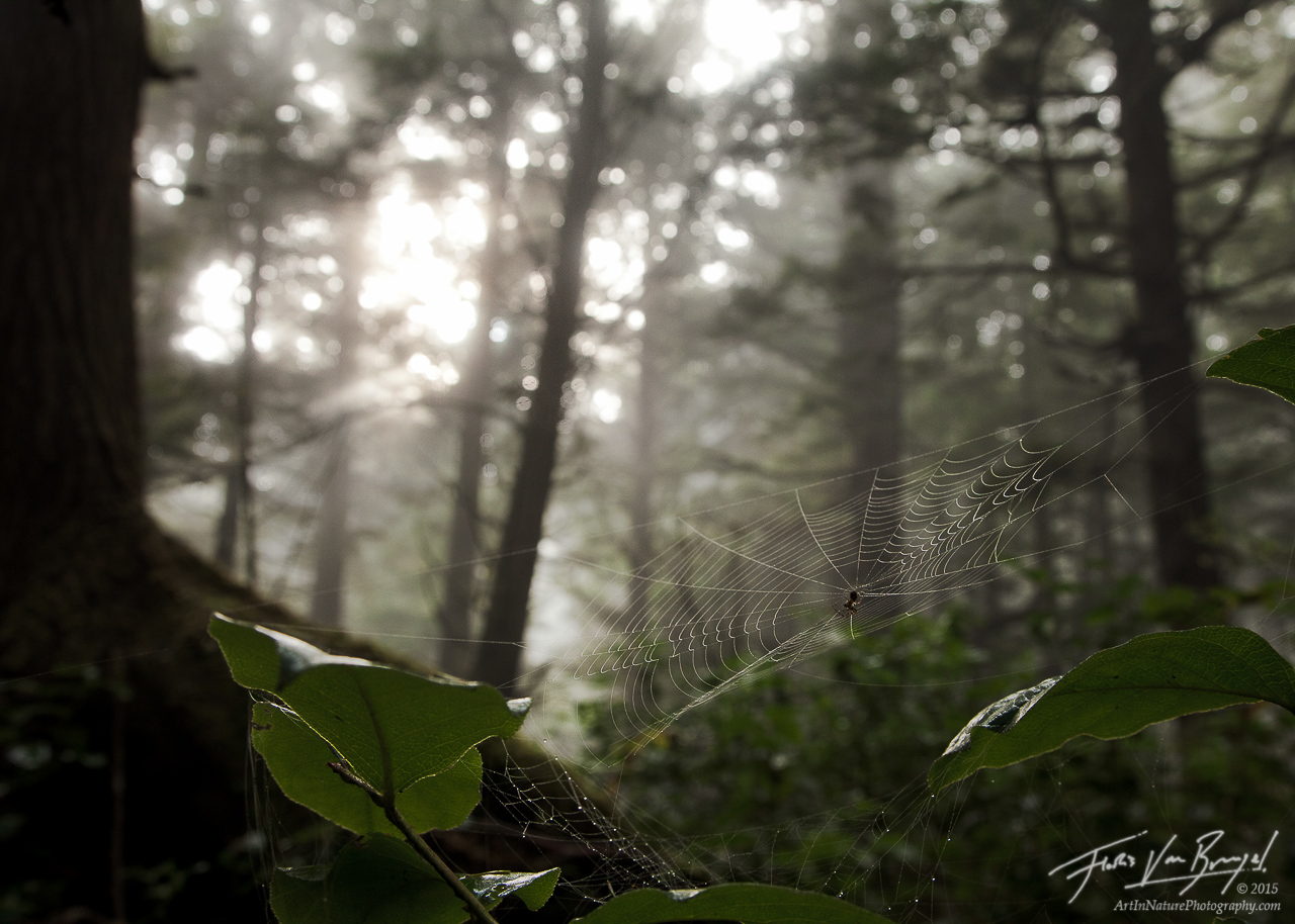 Spider Web, Misty Forests, Olympic National Park, photo