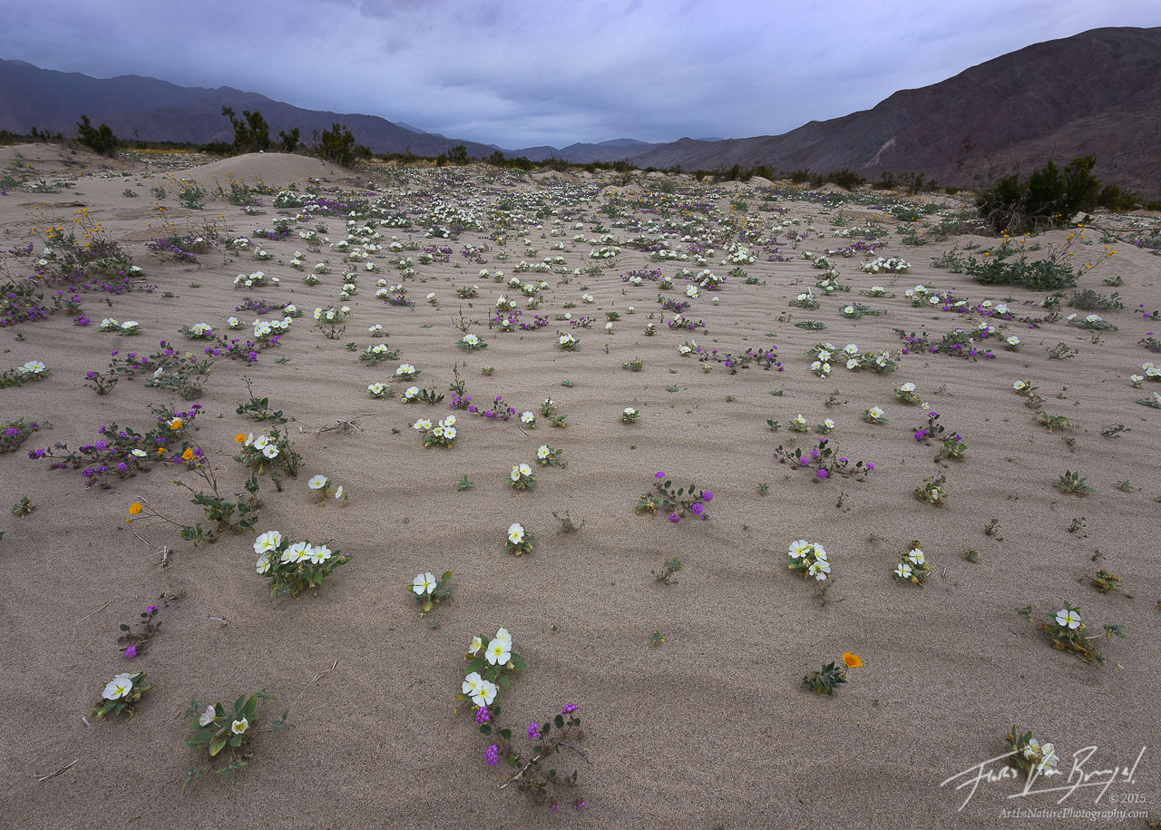 Desert Flowers and Rain, Anza-Borrego State Park, California Desert, photo