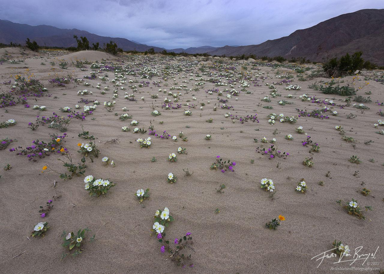Desert Flowers and Rain, Anza-Borrego State Park, California Desert, photo