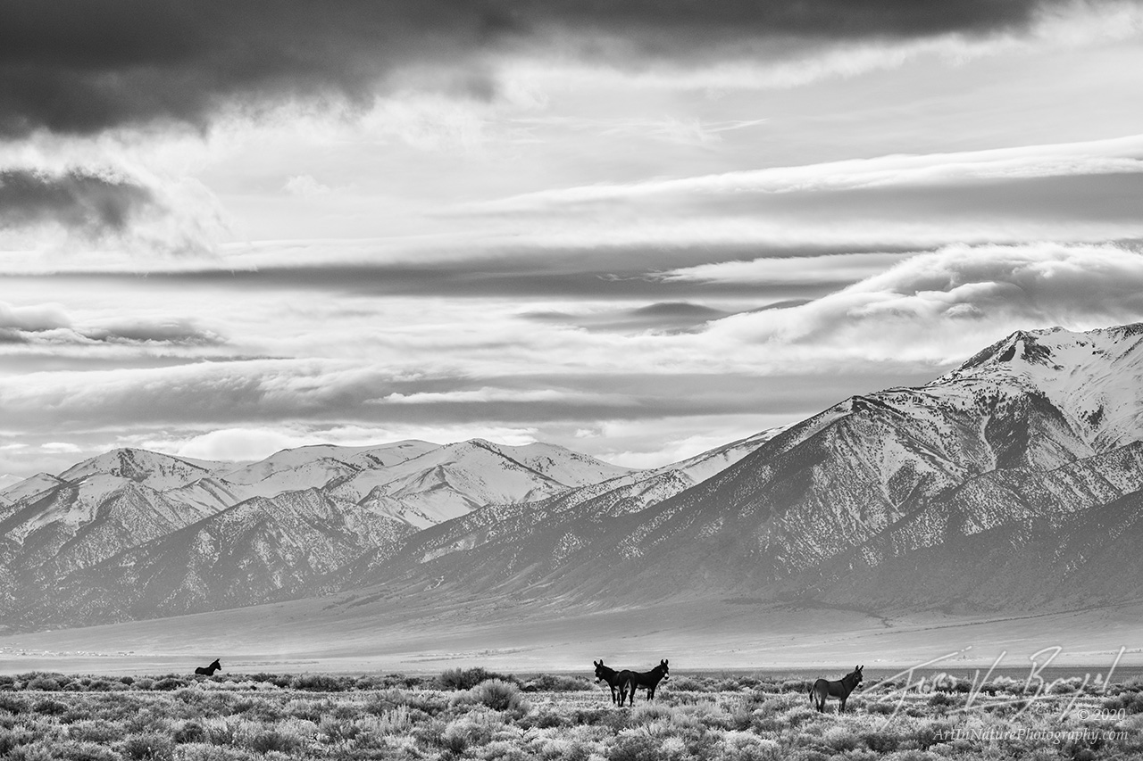 burrows, wildlife, nevada, desert, black and white