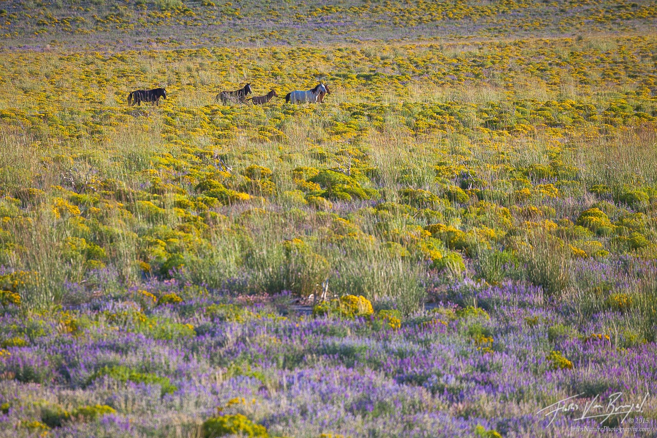 Wild Horses, Flowers, California, photo