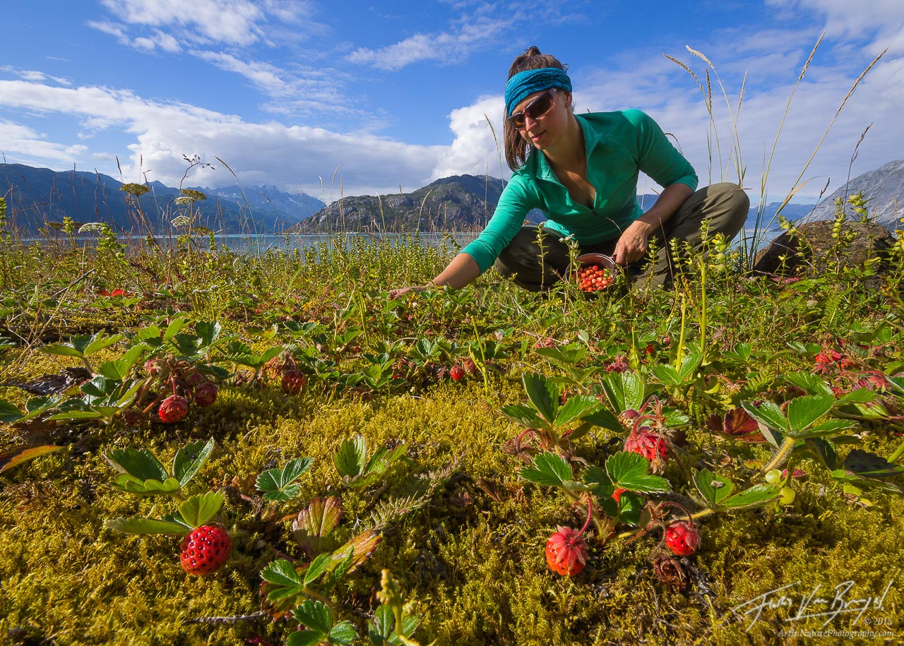 Picking Wild Strawberries, Glacier Bay National Park, Alaska, photo