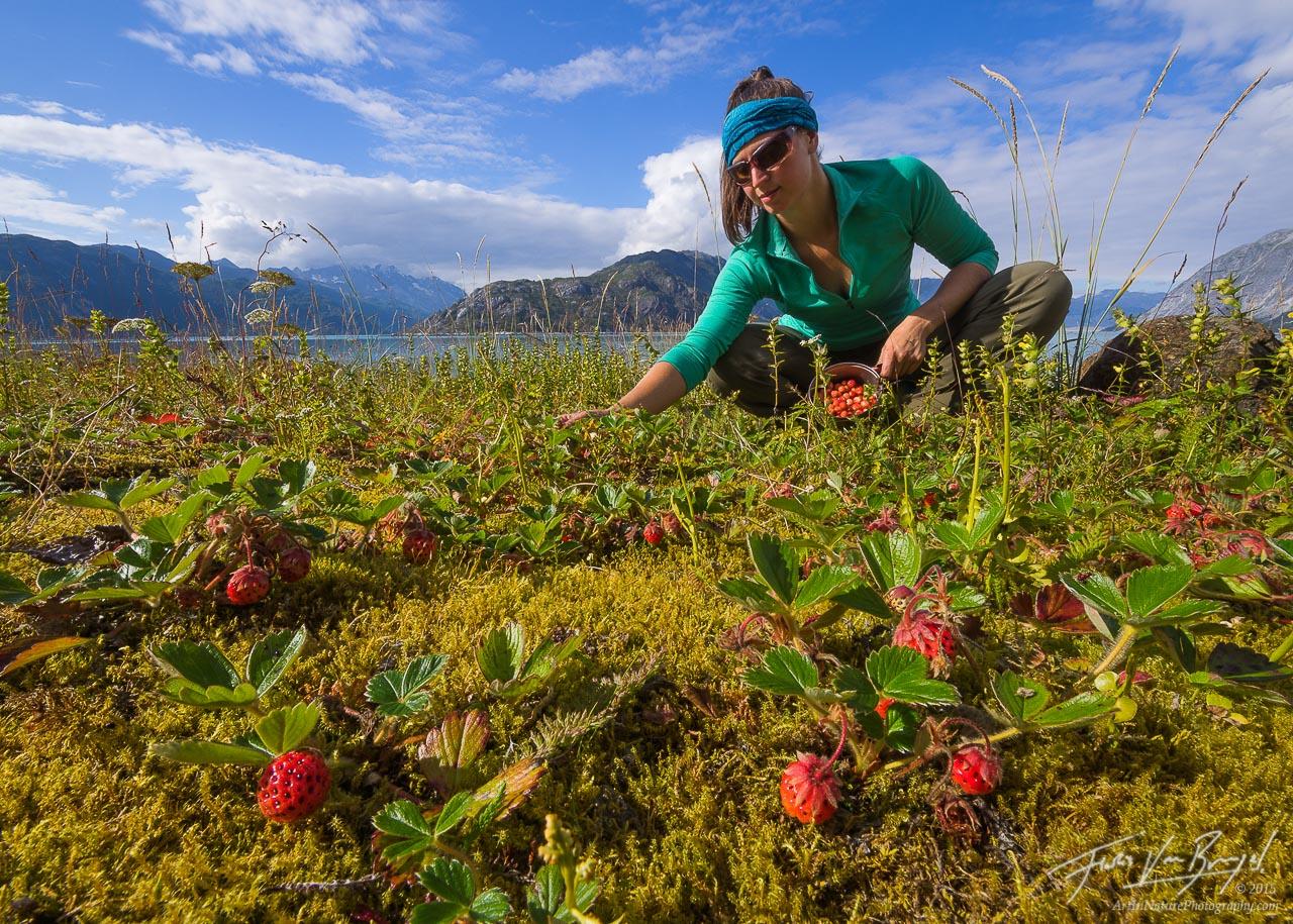 Picking Wild Strawberries, Glacier Bay National Park, Alaska, photo