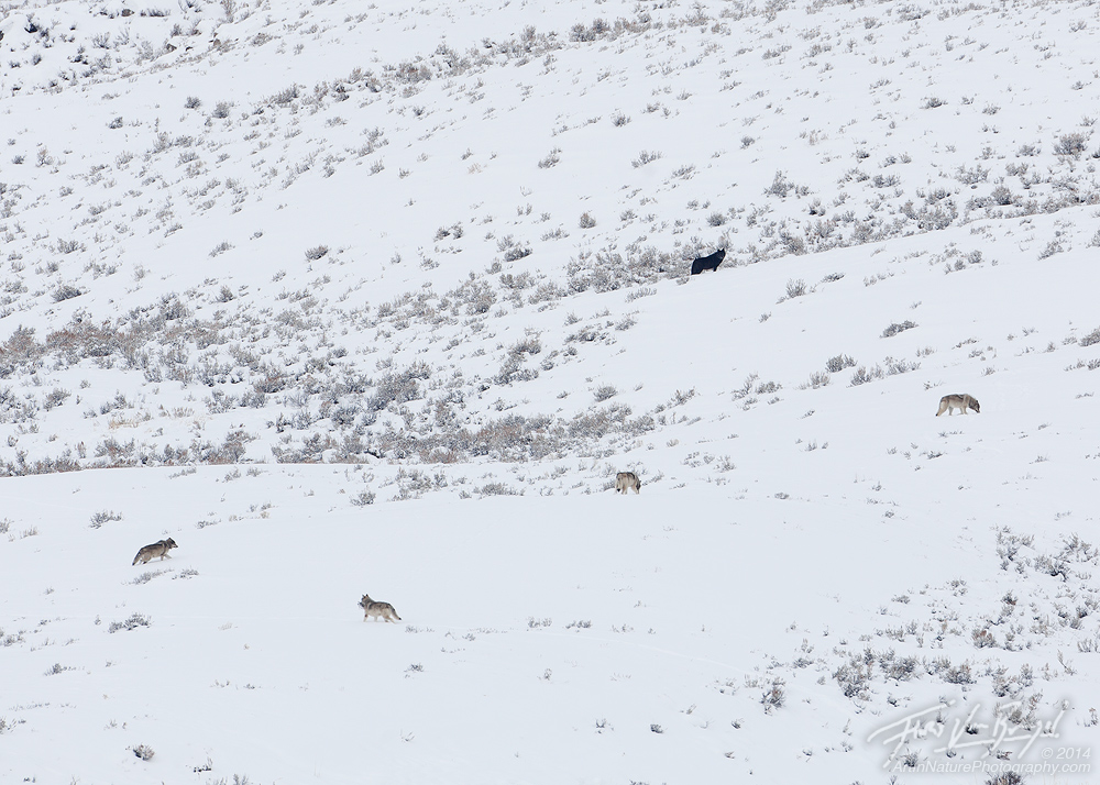 Wolf Pack, Lamar Valley, Yellowstone National Park, photo