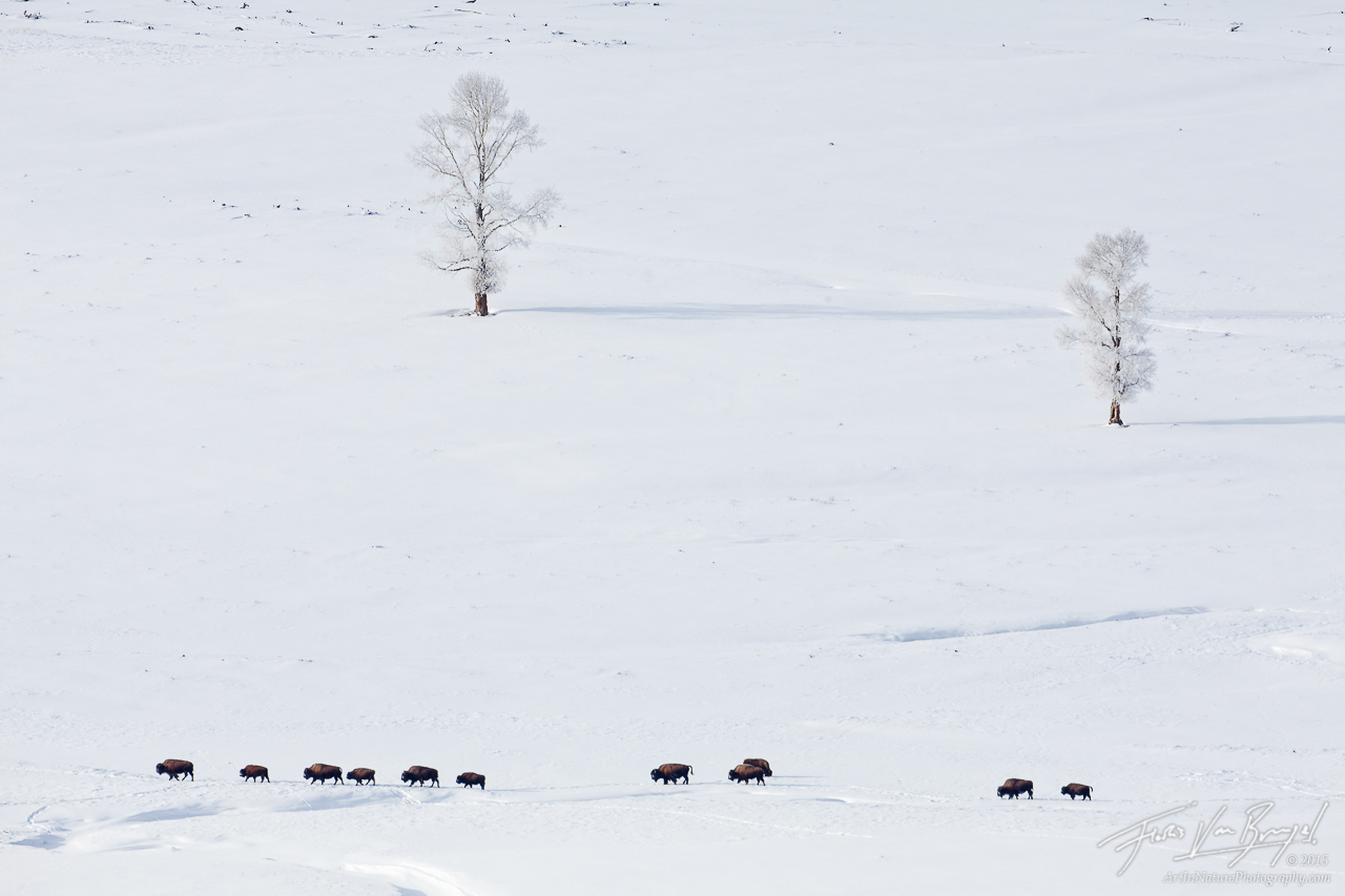Bison, Lamar Valley, Yellowstone National Park, photo