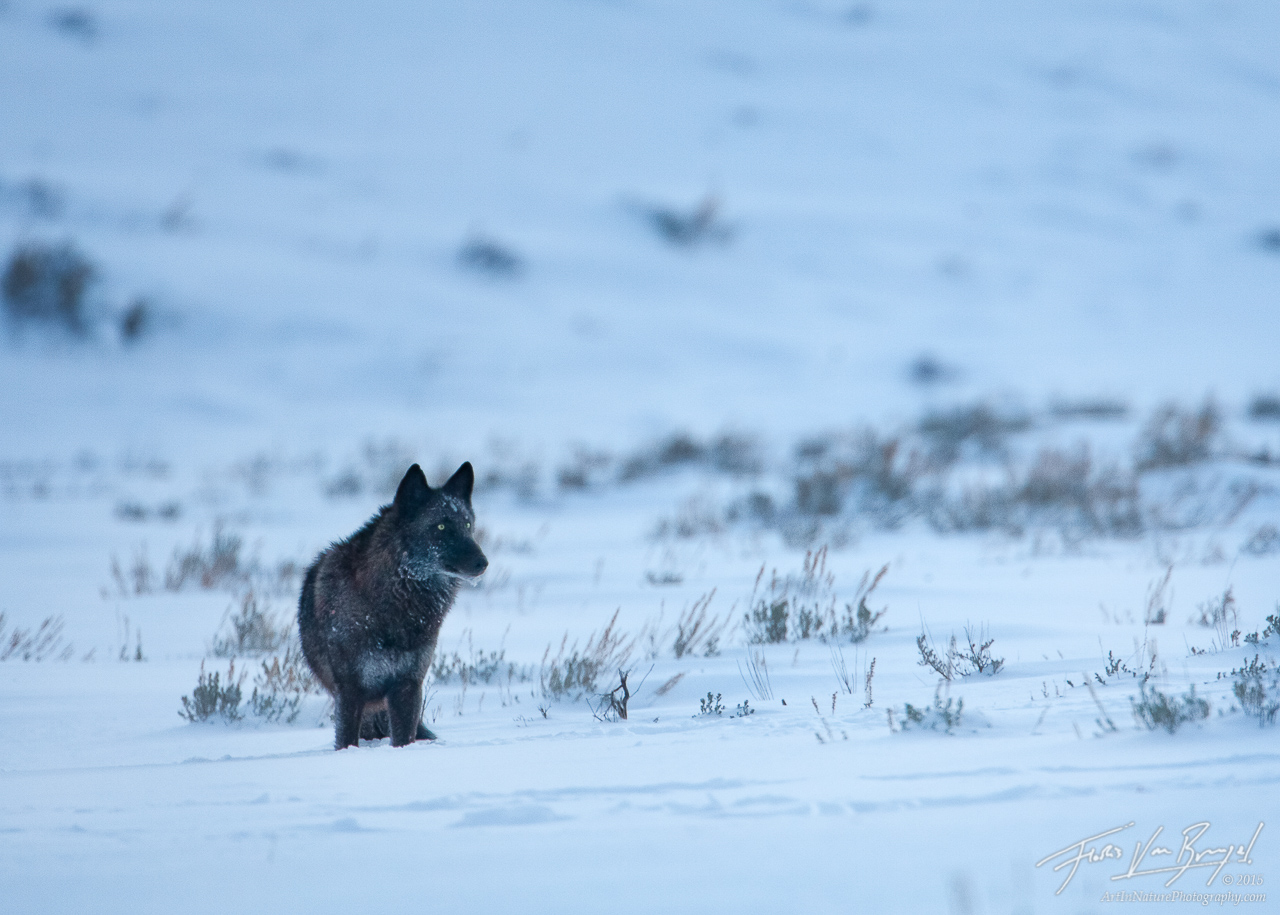 Gray Wolf, Lamar Valley, Yellowstone National Park, photo