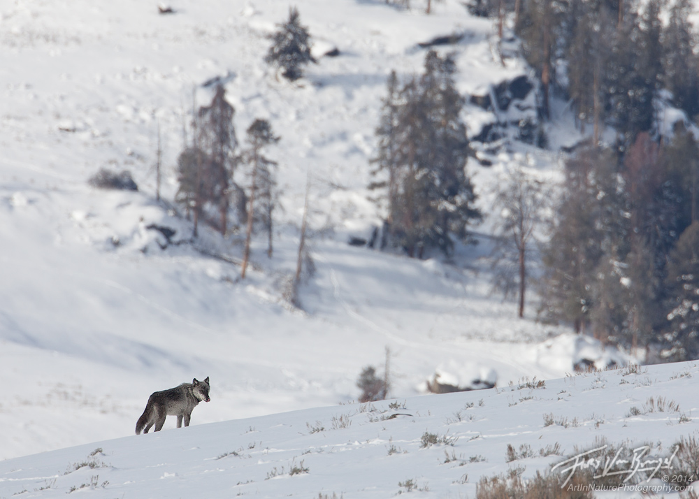 Yellowstone Wolf, Lamar Valley, Yellowstone National Park, photo