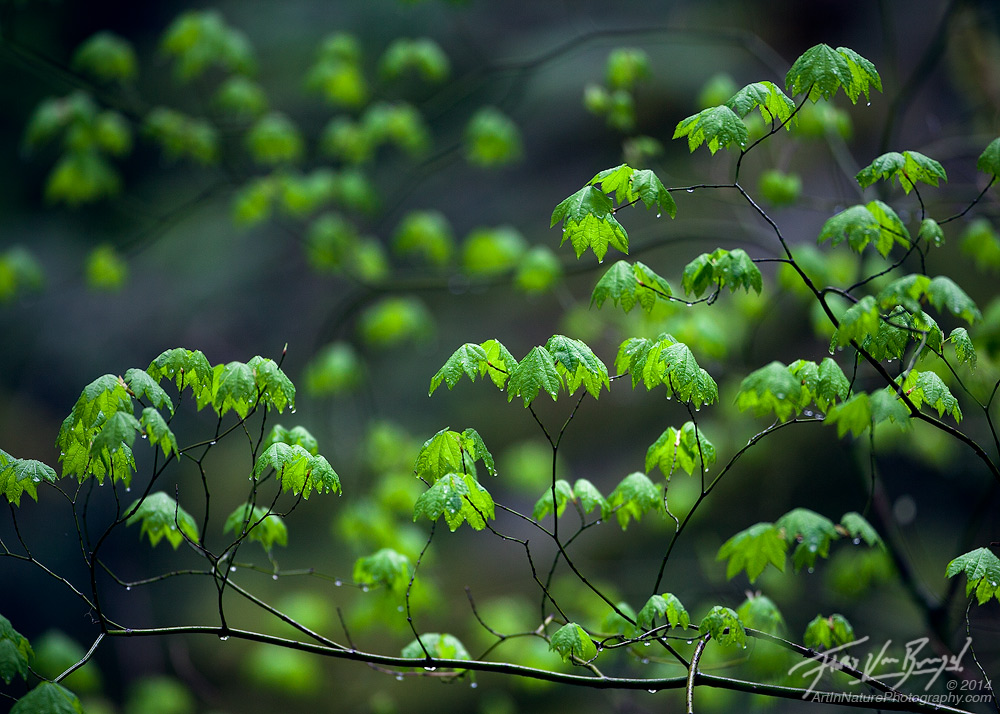 Spring Vine Maples, Cascades, Washington, photo